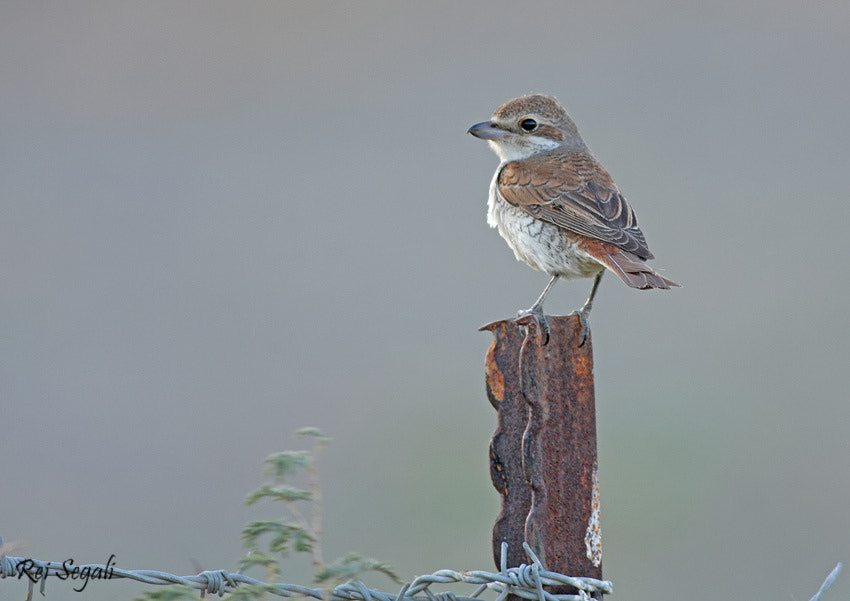 Photograph Red-backed Shrike by rei segali on 500px