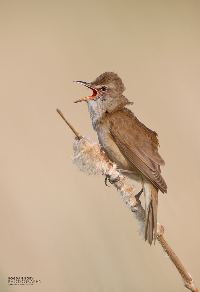 Photograph Great Reed Warbler by Bogdan Boev on 500px