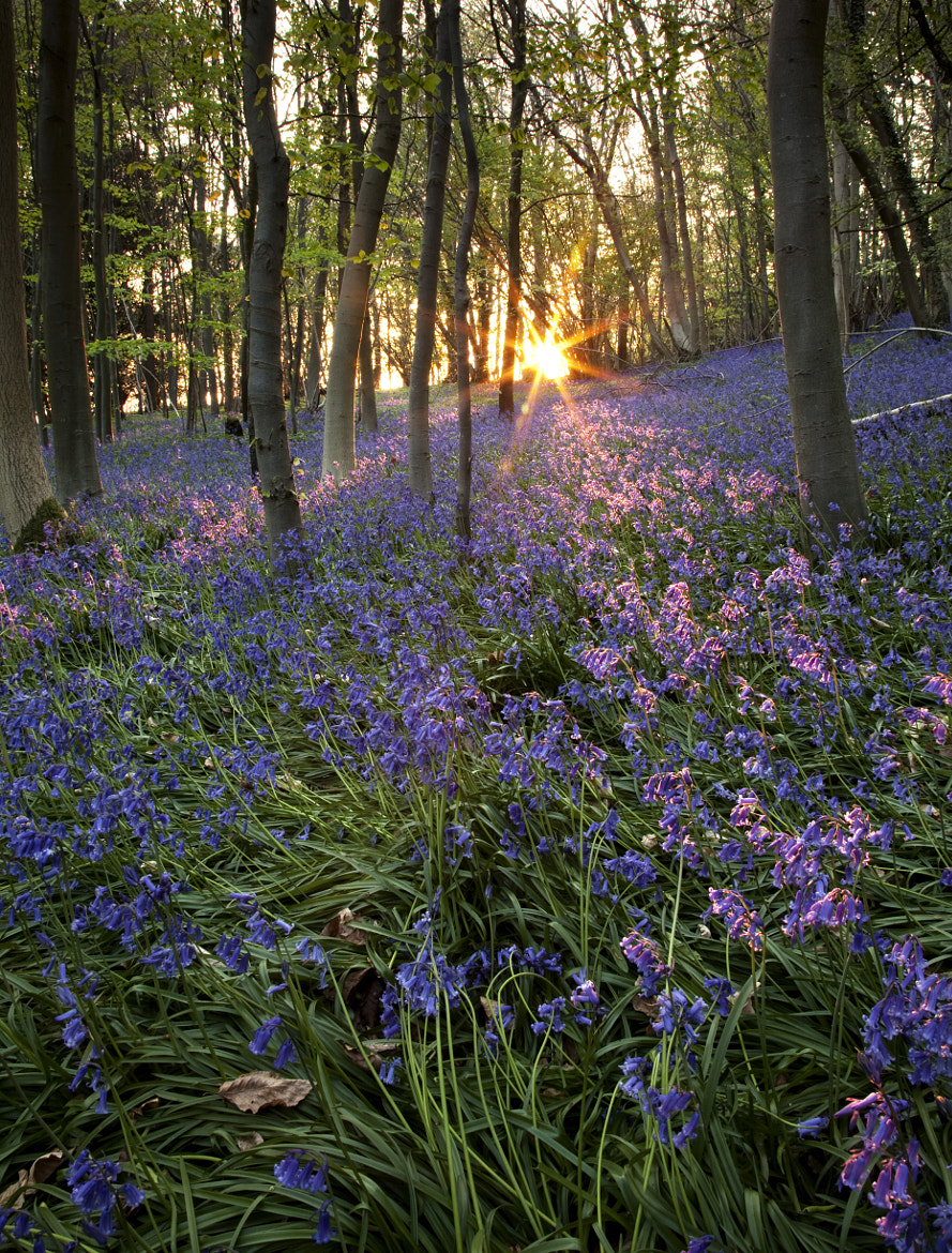 Photograph Bluebells Sunset by Sean Lewis on 500px