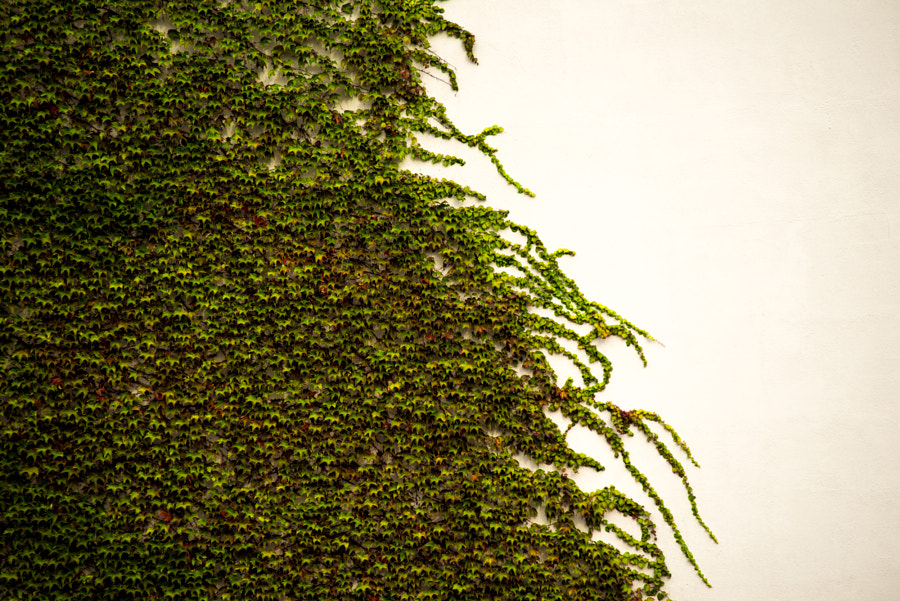 Wave of Ivy