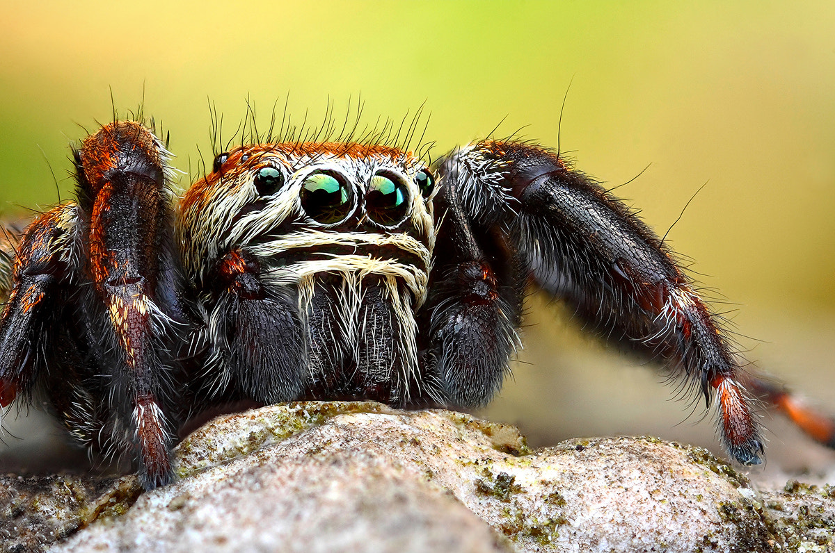 Photograph Jumping spider by Dusan Beno on 500px