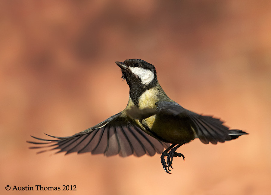 Great Tit, wearing a skirt?