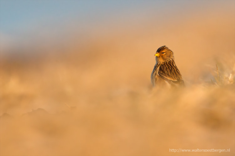 Photograph Twite by Walter Soestbergen on 500px