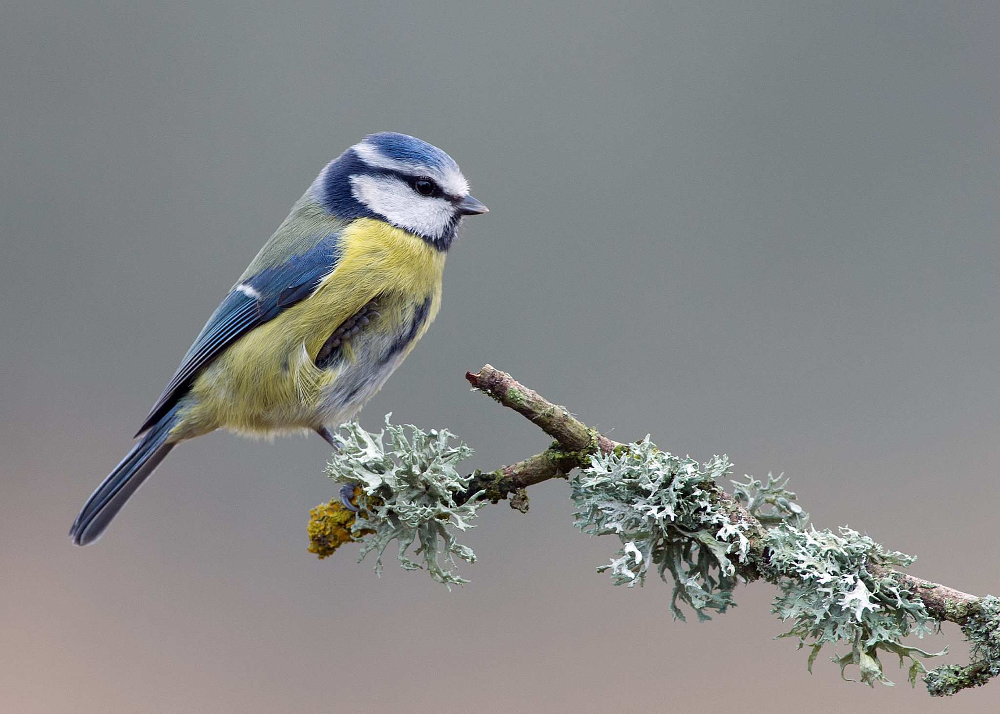 Photograph Blue Tit by Dean Mason on 500px