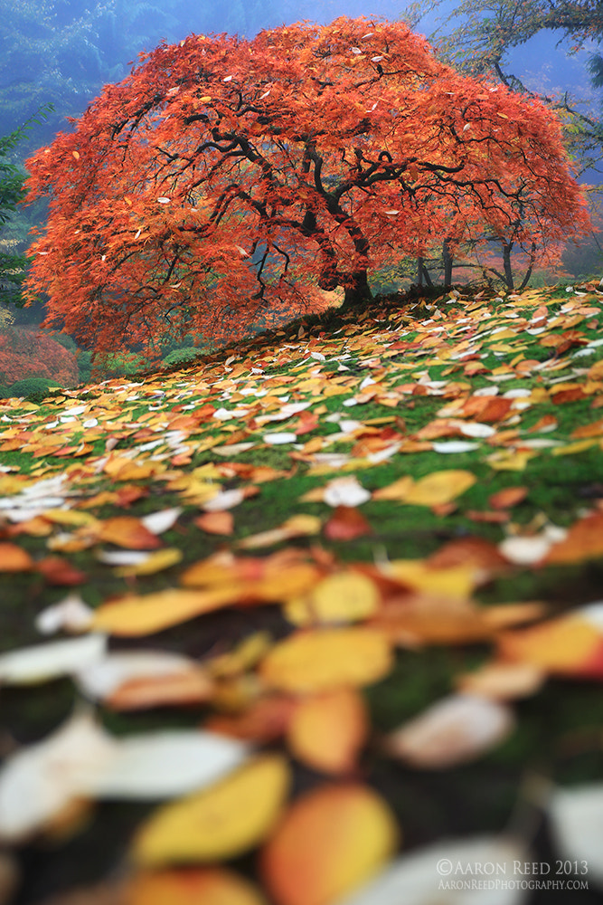 Photograph Colorfall - Japanese Lace Leaf Maple Portland Oregon by Aaron Reed on 500px