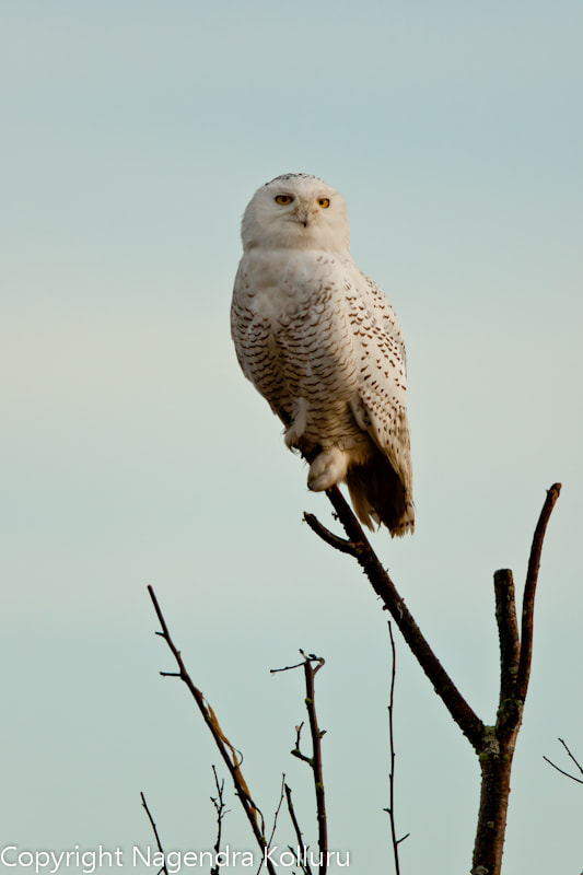 Photograph Perched Snowy Owl by Nagendra Kolluru on 500px