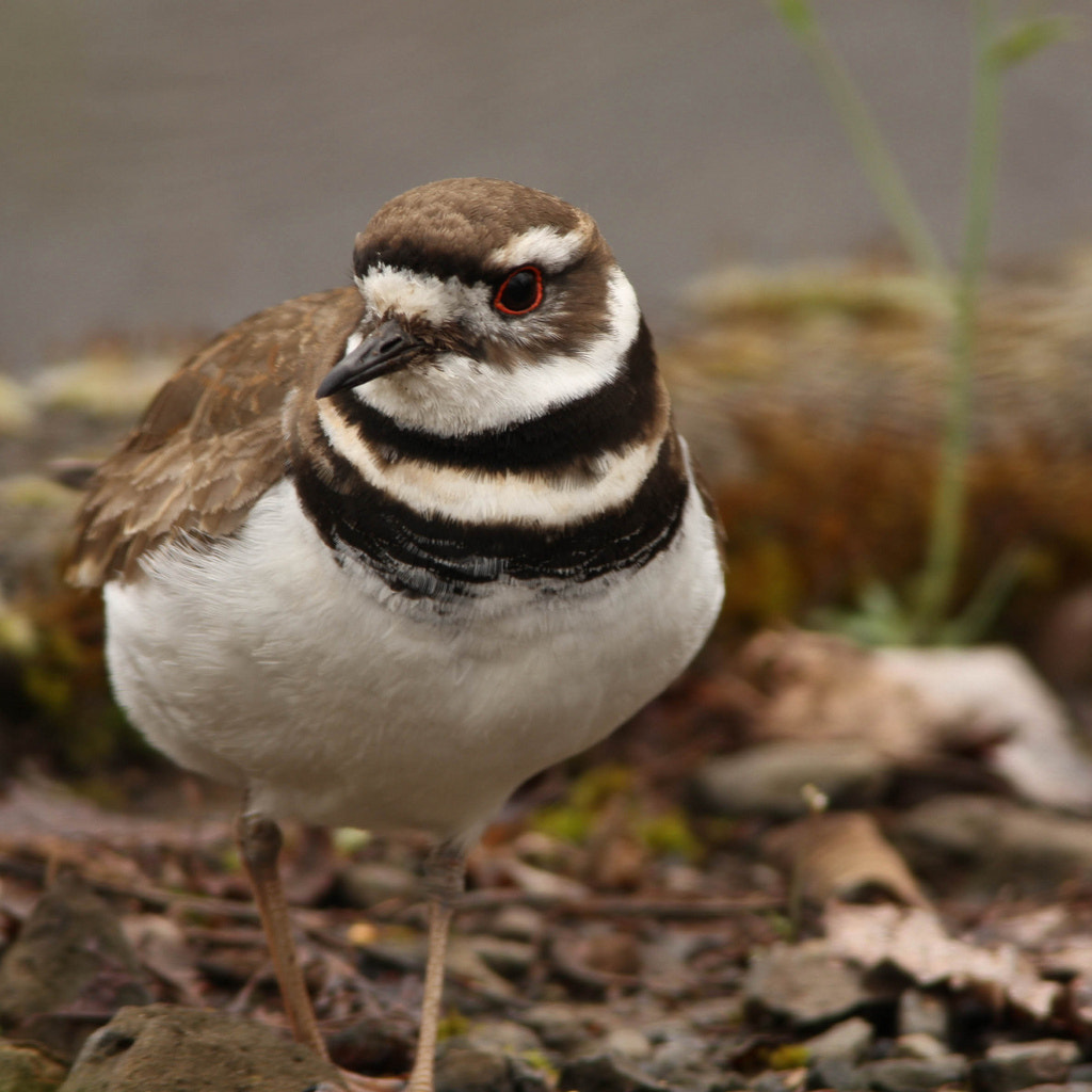 Photograph killdeer by Vinnie Halpin on 500px