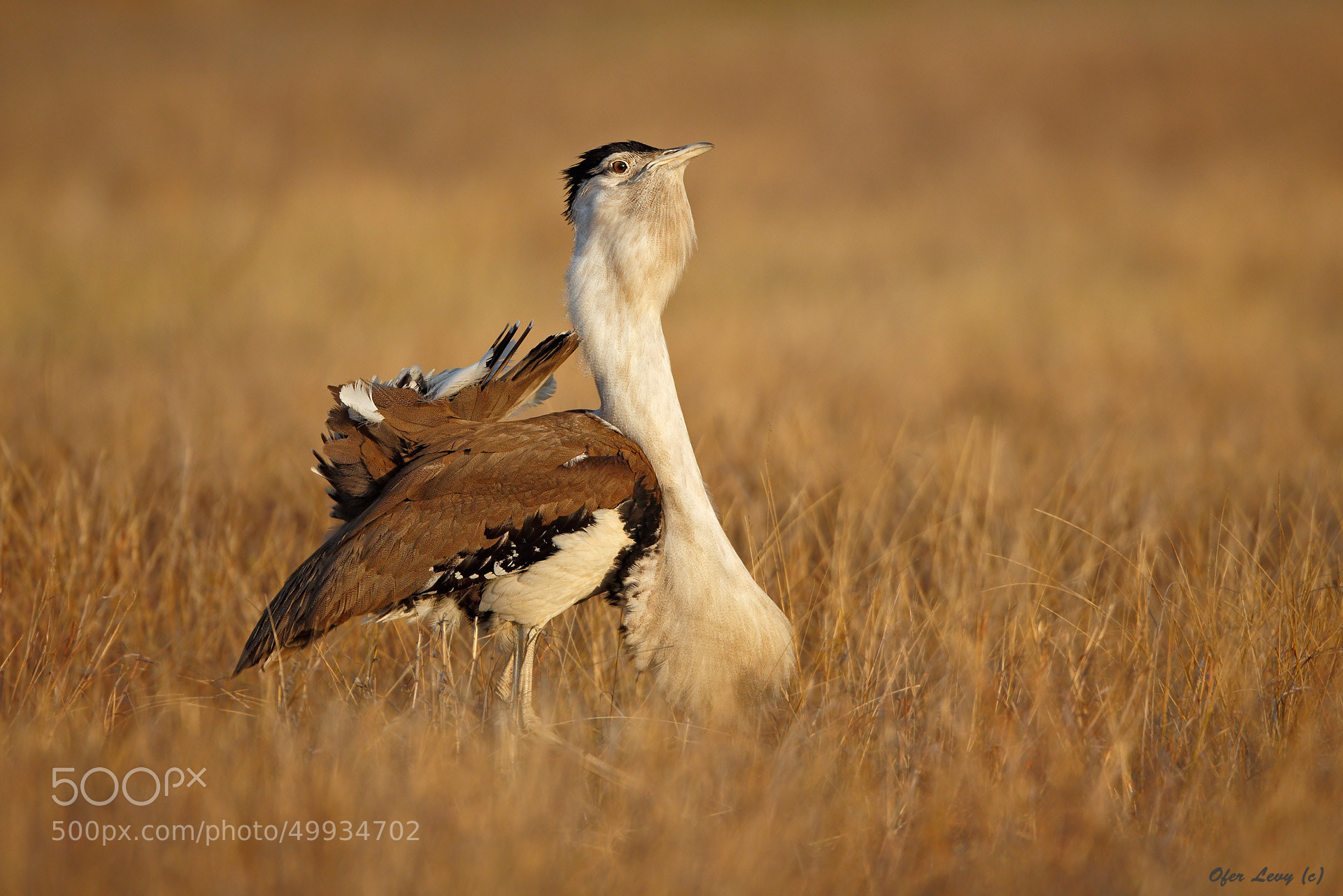 Photograph Australian Bustard by Ofer Levy on 500px