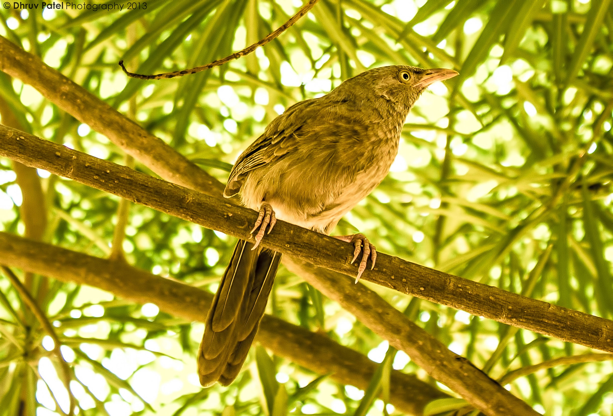 Photograph Jungle Babbler by Dhruv Patel on 500px