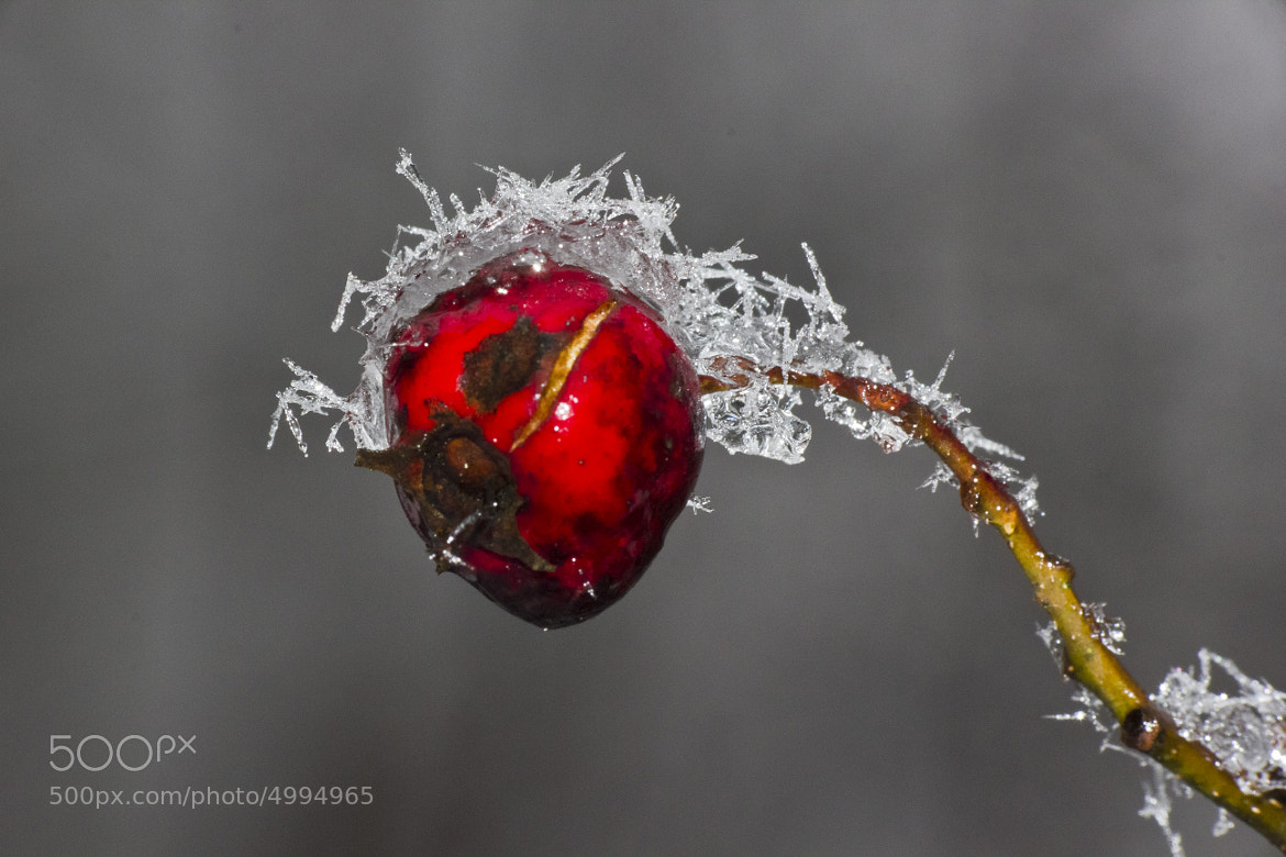 Photograph Snow berry by Charlie Fayers on 500px