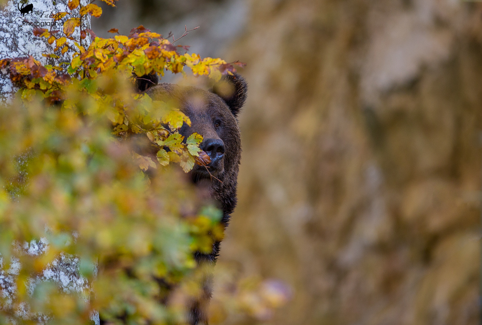 Photograph bears ours brun by Fabrice Savary  on 500px
