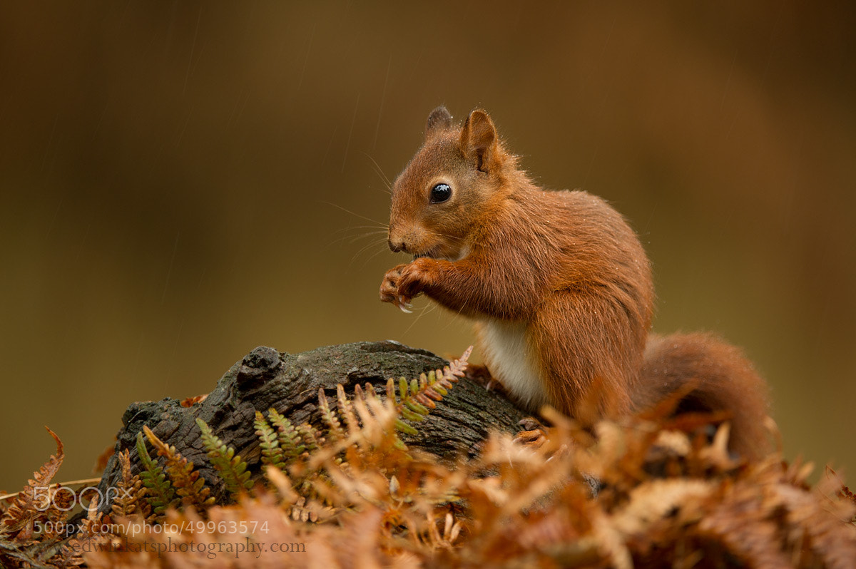 Photograph Young Squirrel by Edwin Kats on 500px