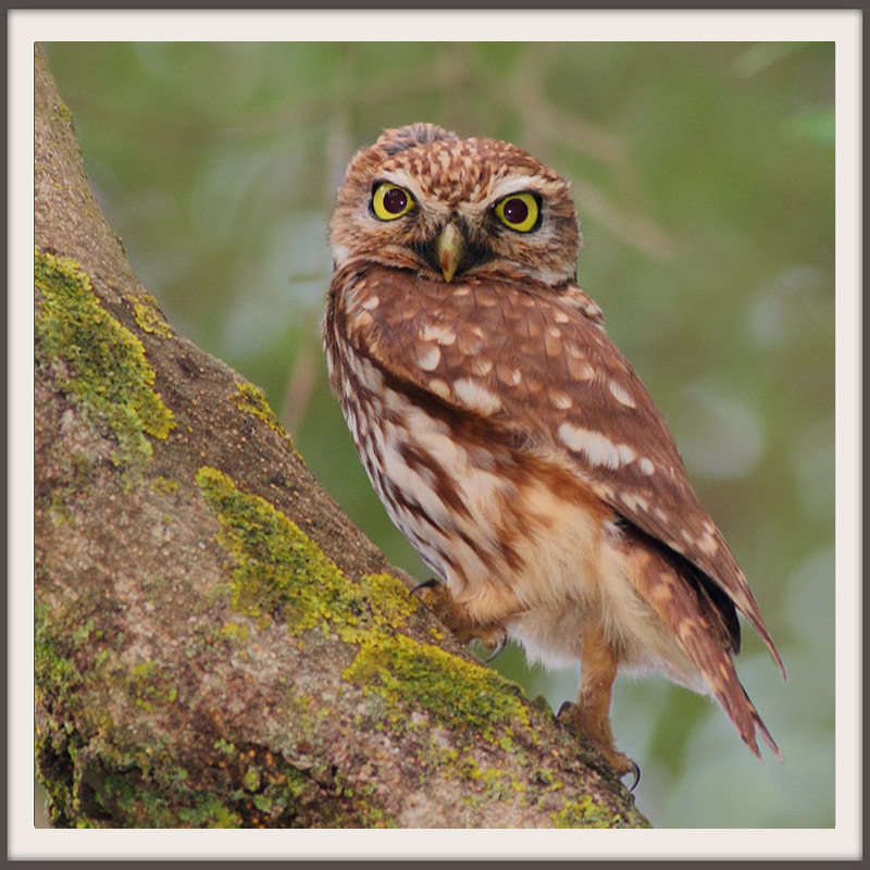 Photograph Chevêche d'Athéna Athene noctua - Little Owl by mazouz abdelaziz on 500px