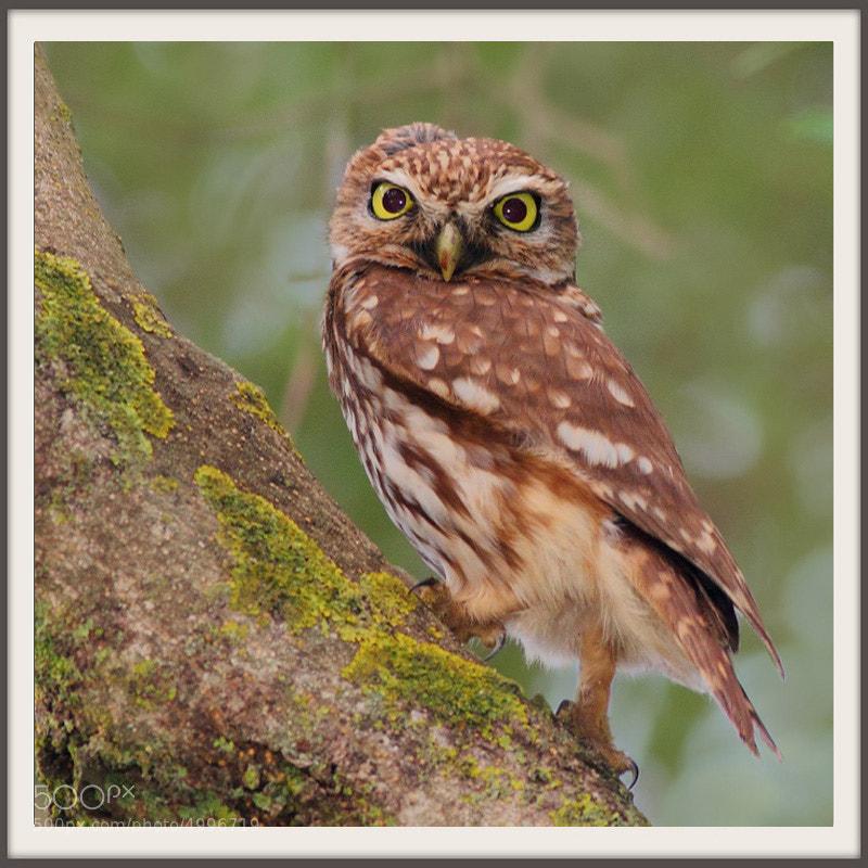 Photograph Chevêche d'Athéna Athene noctua - Little Owl by mazouz abdelaziz on 500px