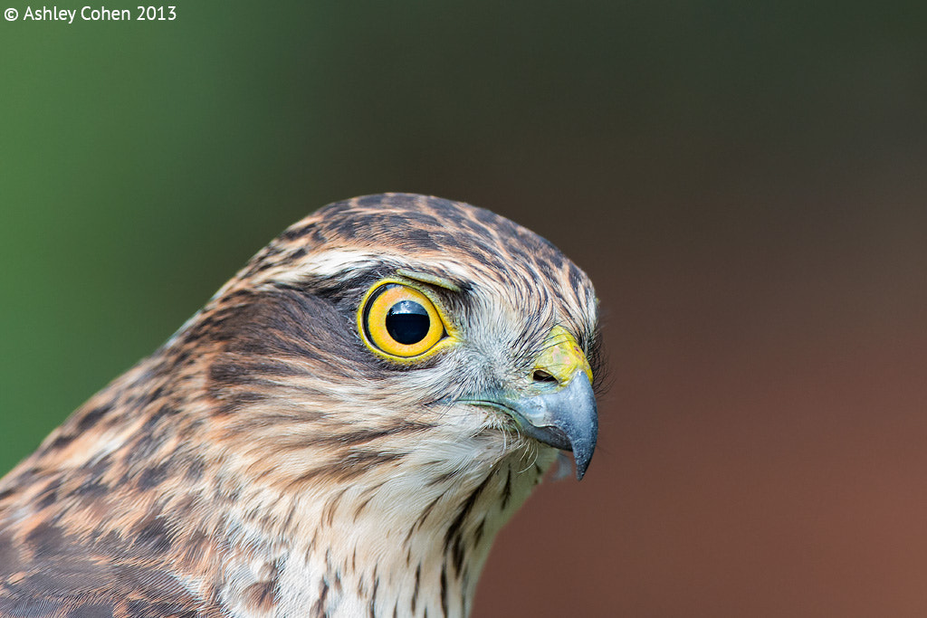 Photograph Juvenile Sparrowhawk Portrait by Ashley Cohen on 500px