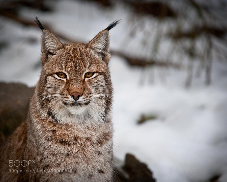 Lynx Effect by Marac Andrzej Kolodzinski