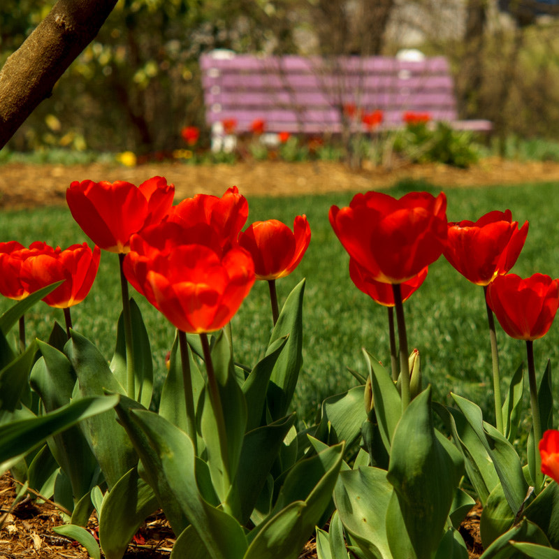 Photograph Tulips at the park by Chilehead Craig on 500px