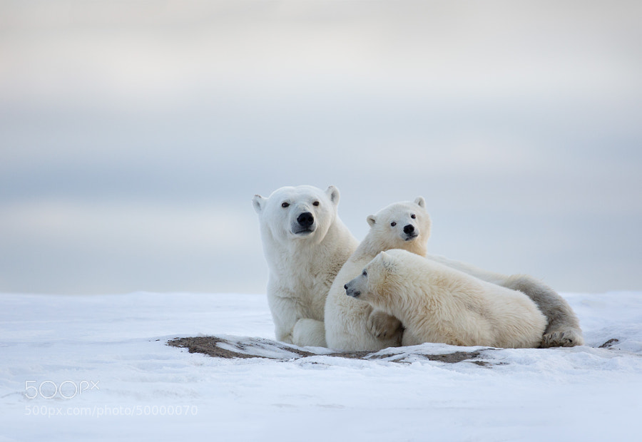 Photograph Polar Bear Family by Matthew Studebaker on 500px