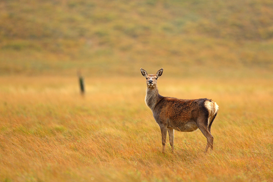 Photograph Red deer by Christian Rey on 500px