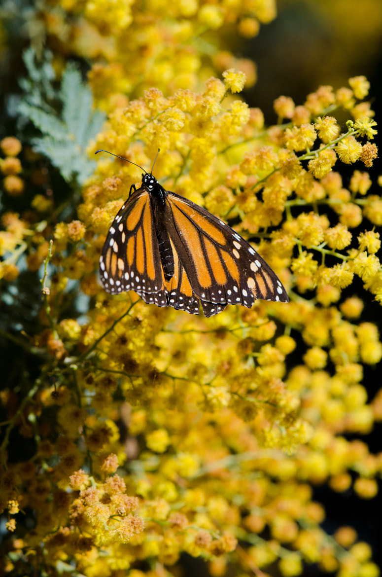 Photograph Ellwood Monarch Butterfly II by David McCurry Photography on 500px