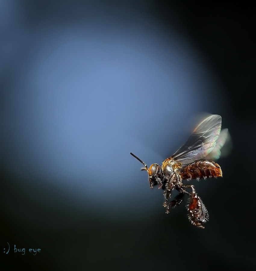 Photograph The dwarf honey bee  by bug eye :) on 500px