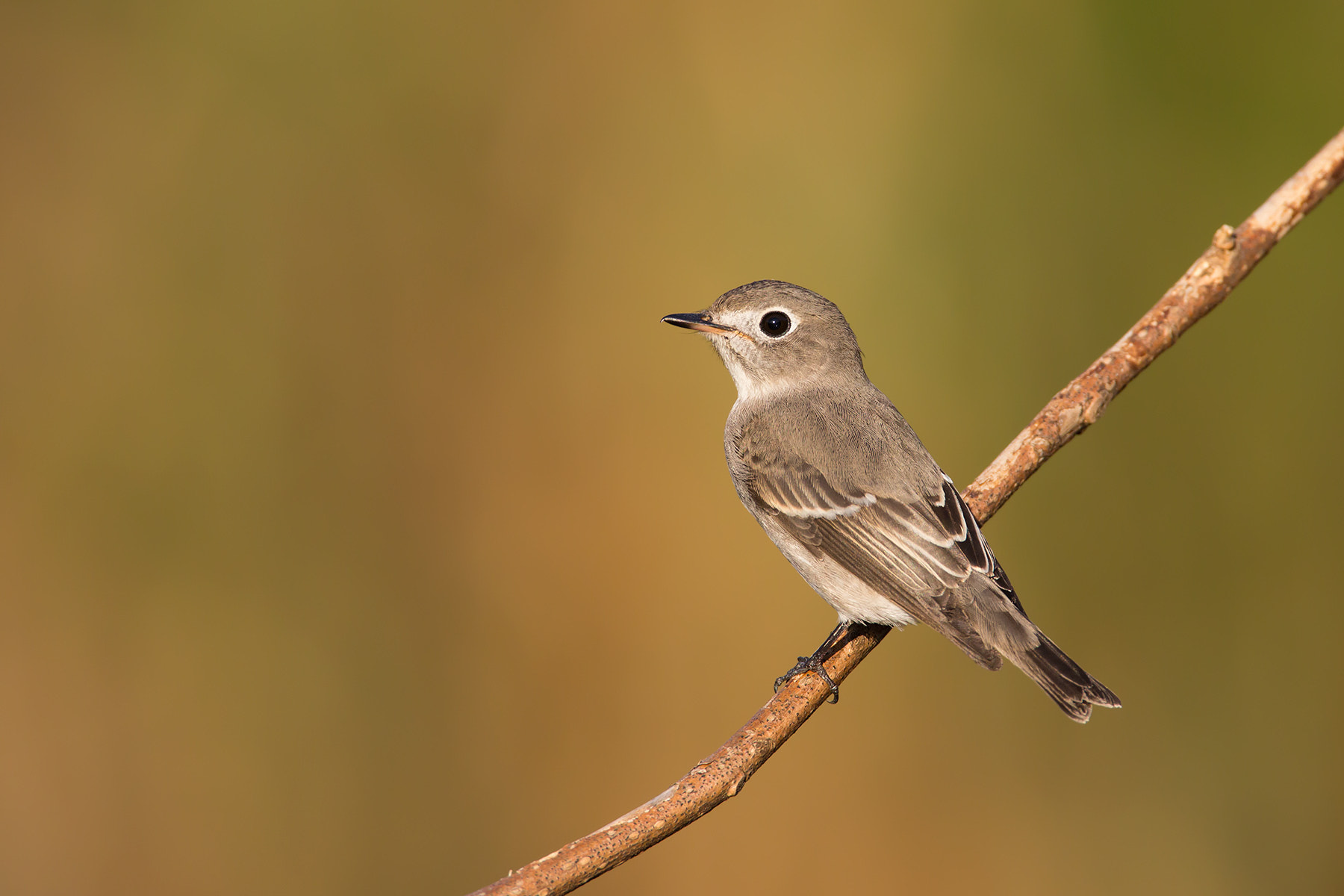 Photograph Asian Brown Flycatcher by Daniel Pettersson on 500px