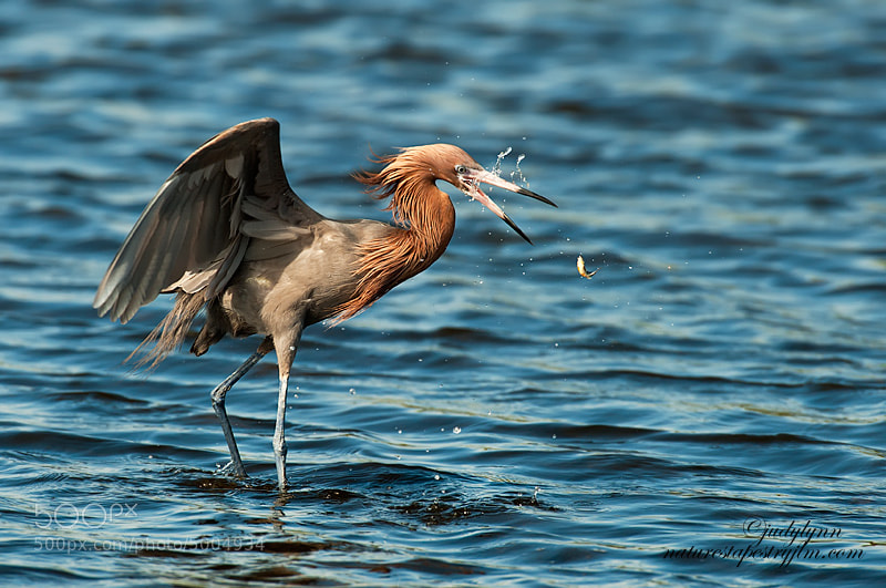 Took this a few days ago while I was watching a reddish egret fishing.  Unfortunately he missed this one.  You could almost see the look of shock on it's face.