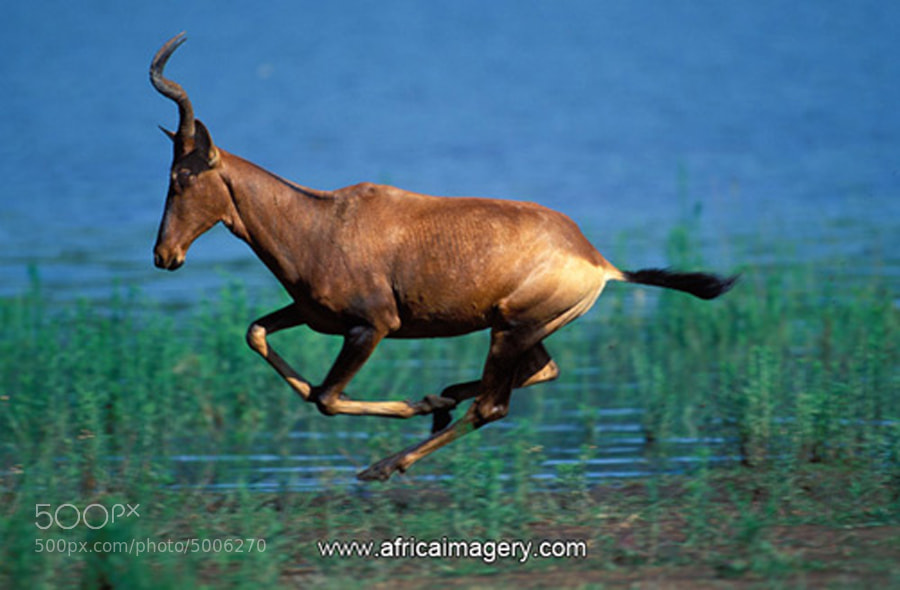 Photograph Red Hartebeest by Africa  Imagery on 500px
