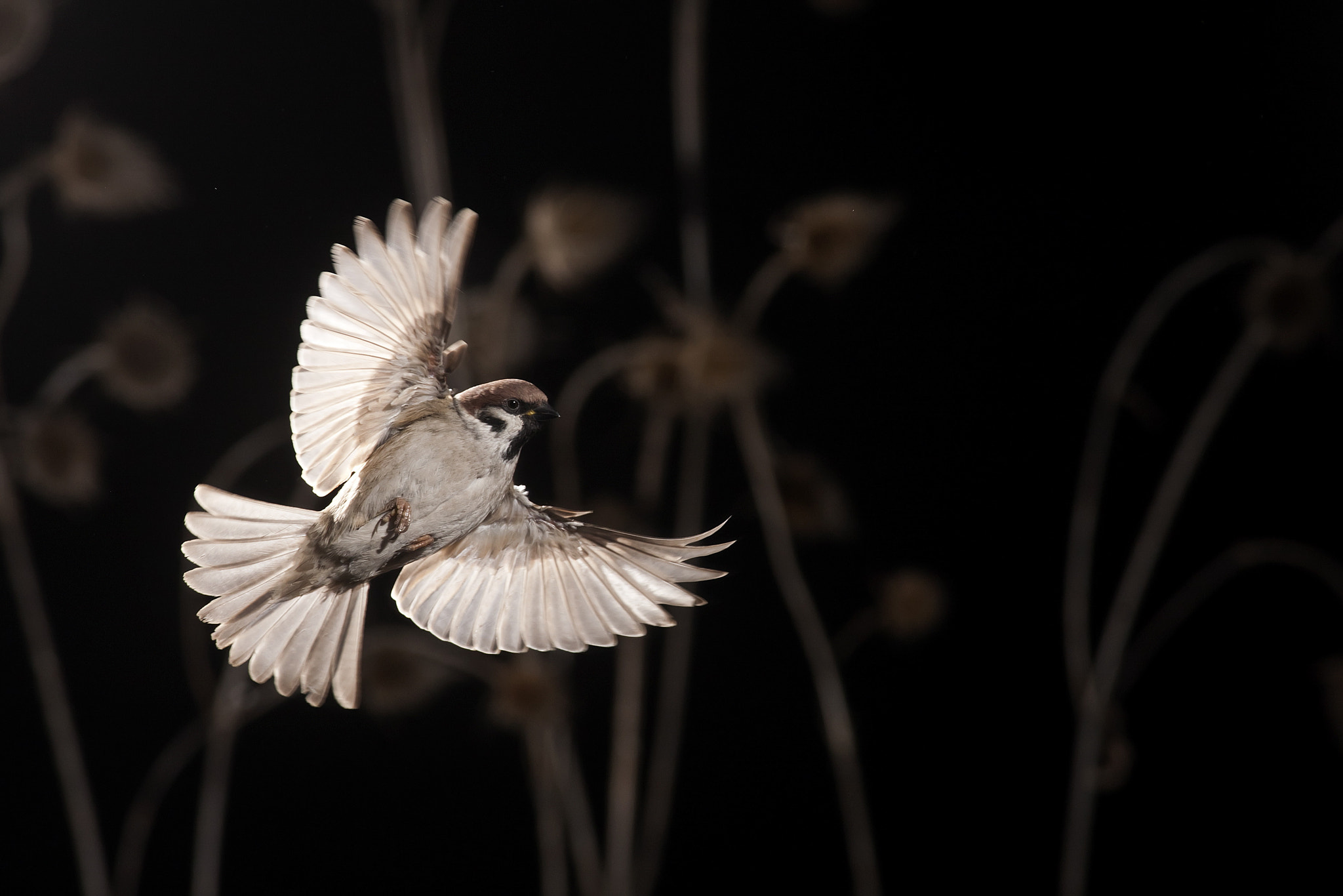 Photograph sparrow in flight by Tibor Jakab on 500px