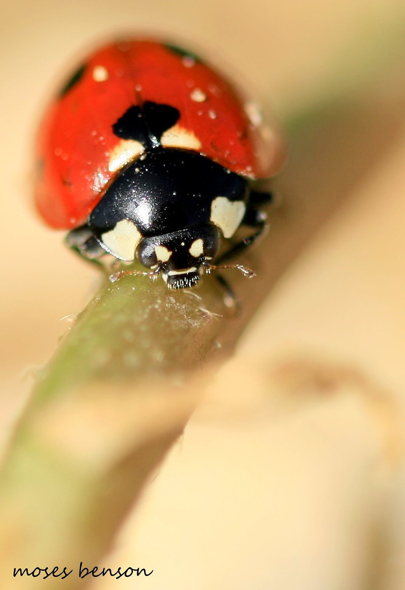 Photograph Small red beetle by Moses Benson on 500px