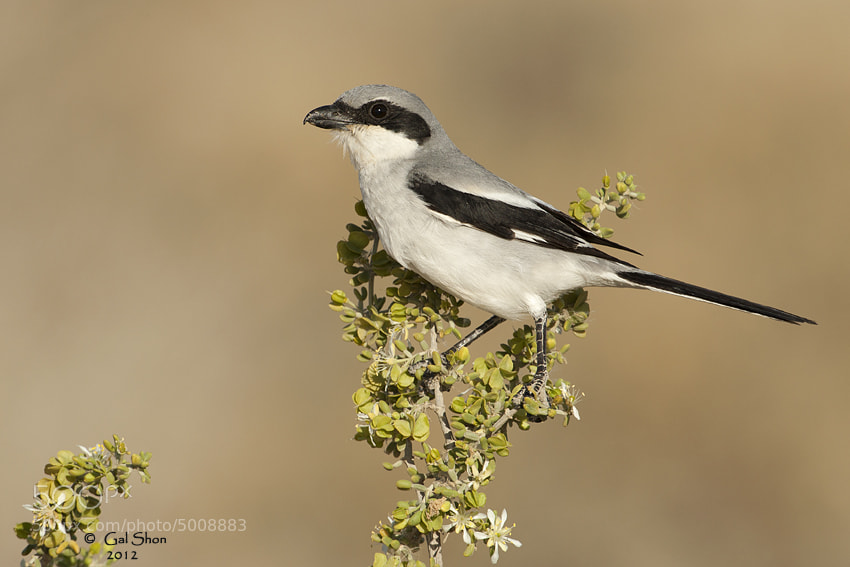 Photograph Great Grey Shrike by Gal Shon on 500px