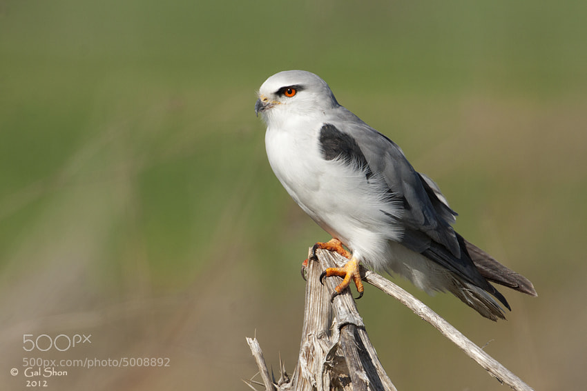 Photograph Black - Winged Kite by Gal Shon on 500px
