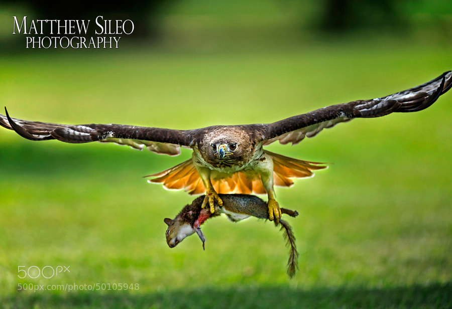 Red-tailed Hawk at Lunchtime by Matthew Sileo on 500px.com