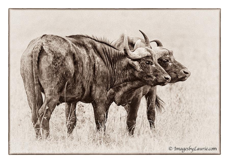 A study in Black and White (Maasai Mara, Kenya)