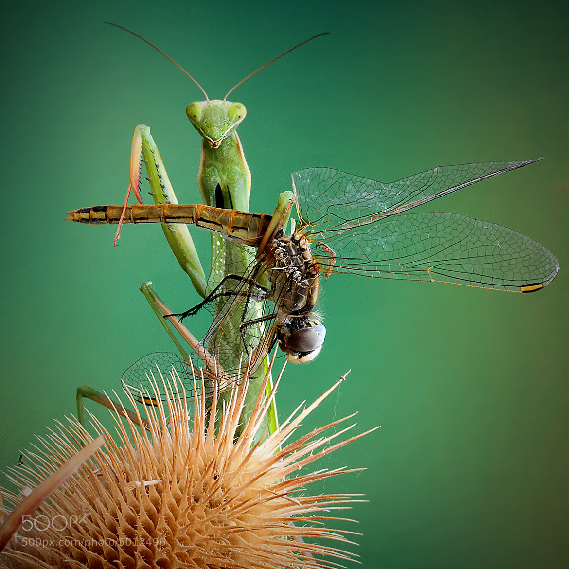 Photograph the prey mantis by ivo pandoli on 500px