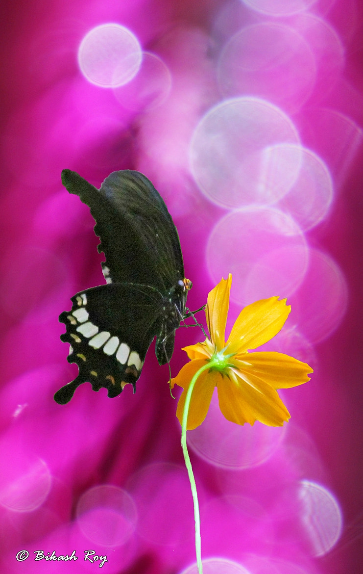 Photograph Bokeh and Butterfly... by Bikash Roy on 500px