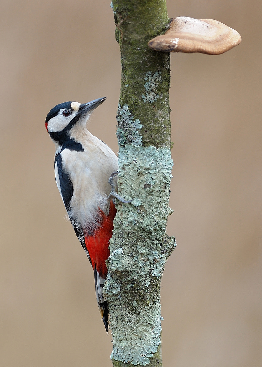 Photograph Great Spotted Woodpecker & Fungi by Dean Mason on 500px