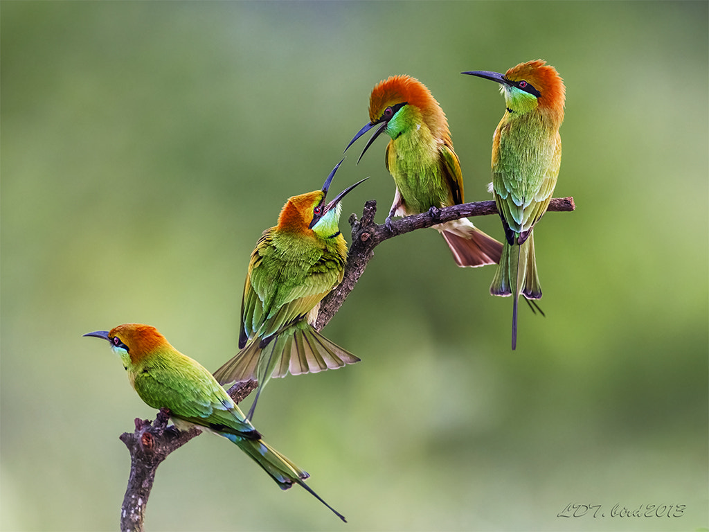 Photograph bee-eater**** by le dinh thanh on 500px
