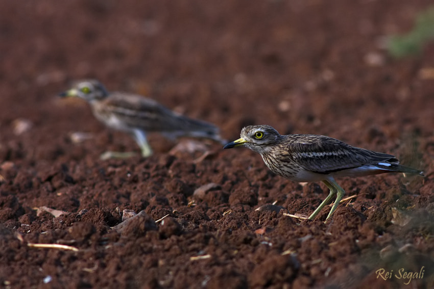 Photograph Stone Curlews by rei segali on 500px