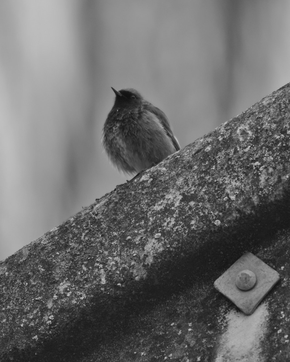 Photograph black and white ,black redstart by Adam Hough on 500px
