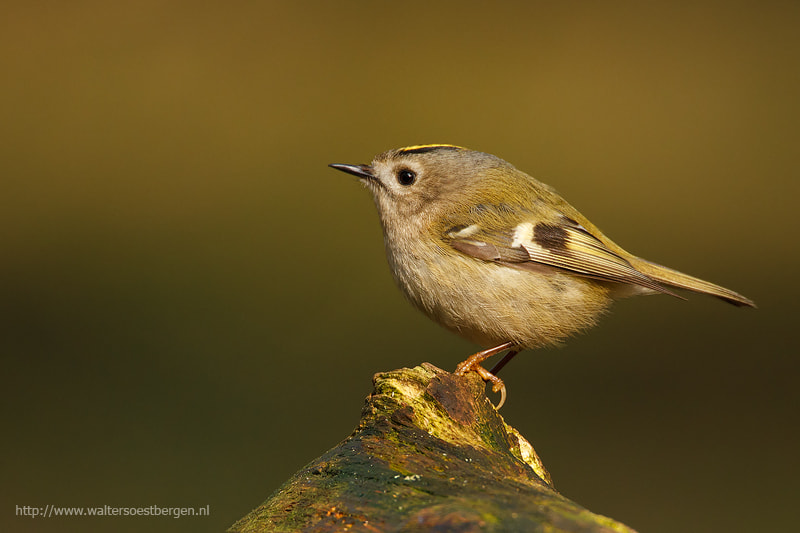 Photograph Gold crest by Walter Soestbergen on 500px