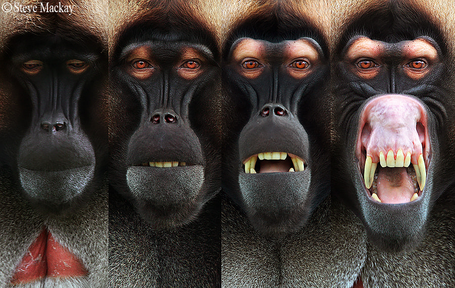 Photograph Gelada Threat Display Sequence by Steve Mackay on 500px