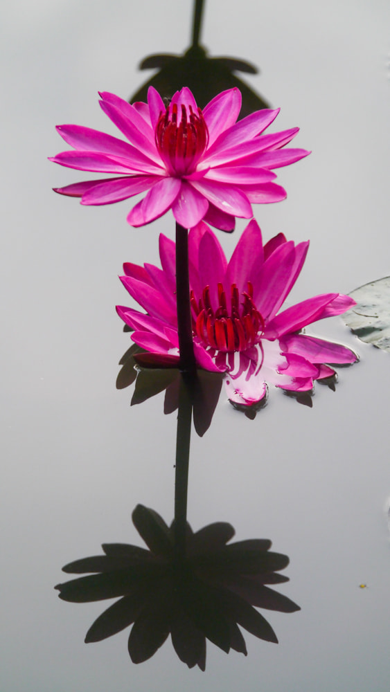 Photograph Pendant of lotus and shadows by Johannes Dayrit on 500px