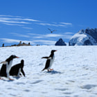 Постер, плакат: penguins gentoo