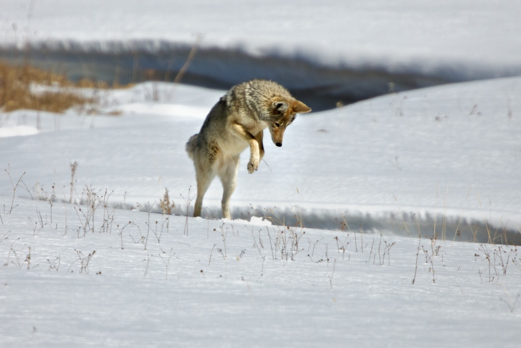 Photograph Coyote pouncing by Buck Shreck on 500px
