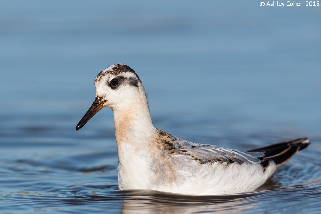 Photograph Grey Phalarope - Spin Me Round!  by Ashley Cohen on 500px