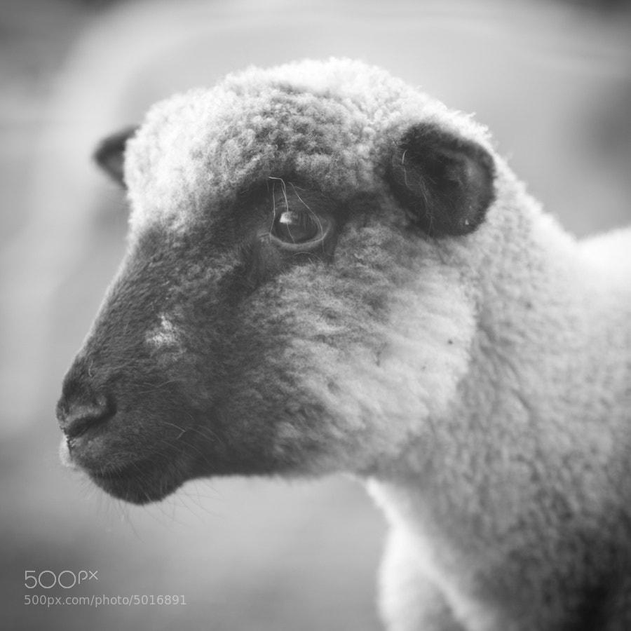 Photograph sheep portrait by Joe Bauers on 500px