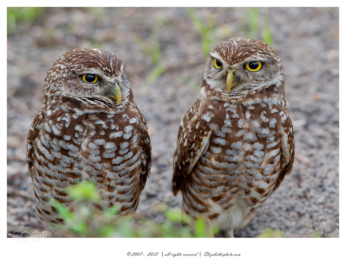 Photograph Burrowing owls by Elizabeth.  E. on 500px