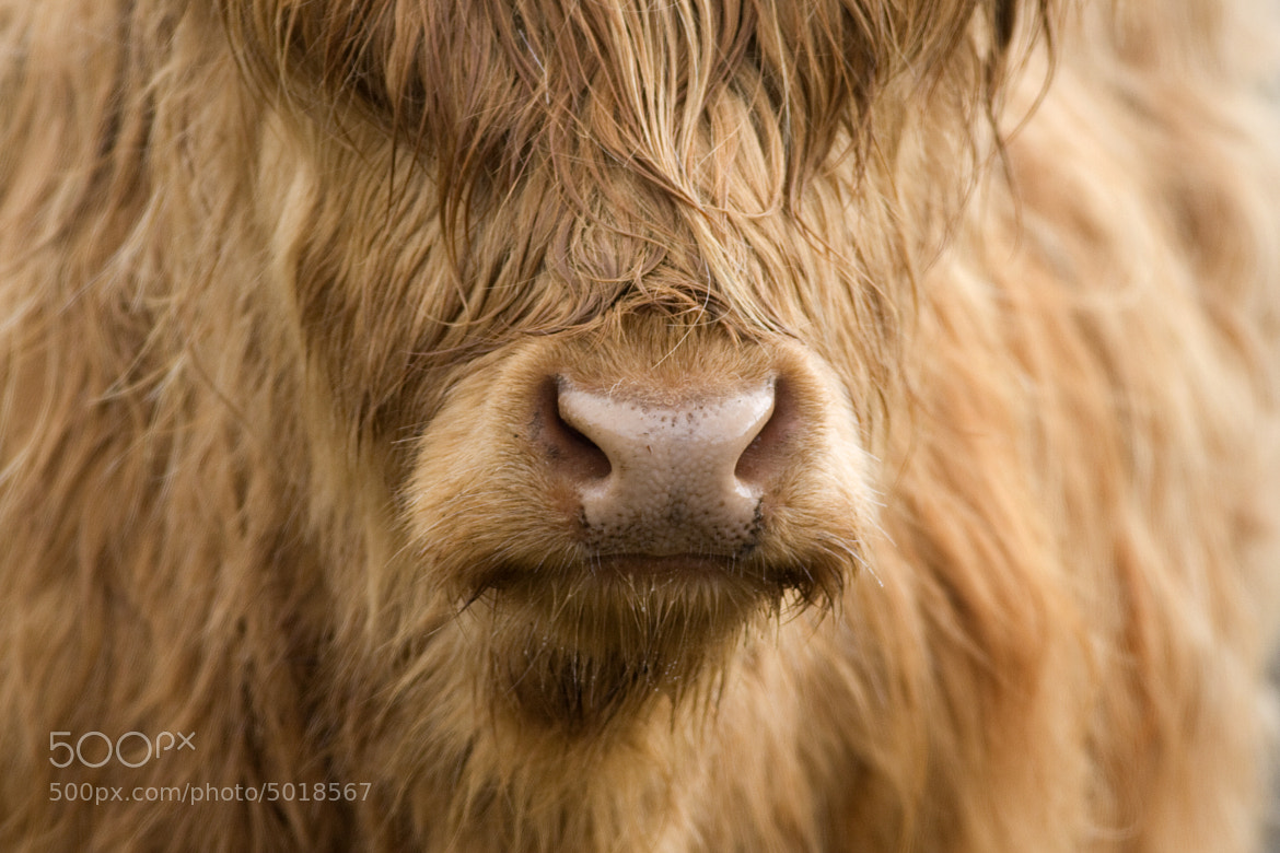 Photograph Highland Cow by Matt Tindall on 500px