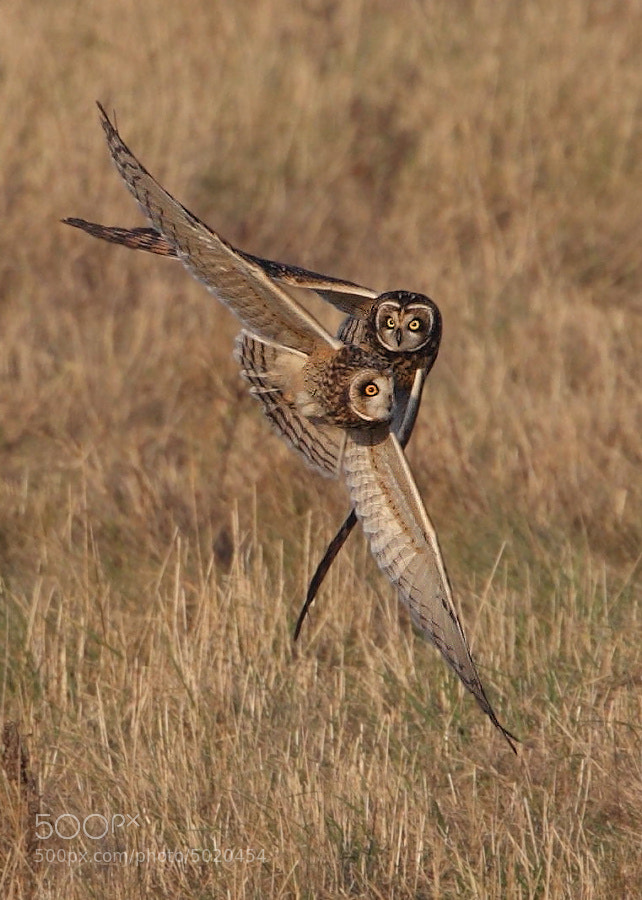 Photograph Short Eared Owls by Karen Summers on 500px